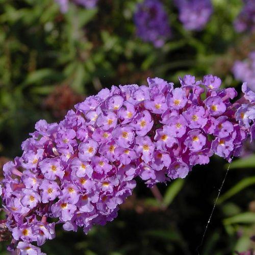 Schmetterlingsstrauch 'Nanho Blue'