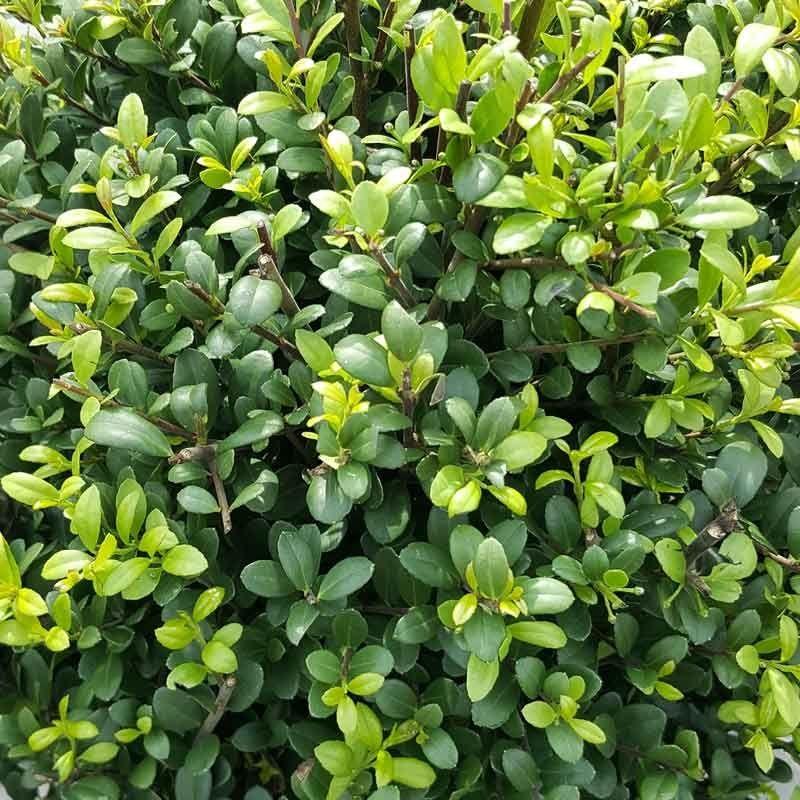 Japanische Stechpalme 'Dark Green'®