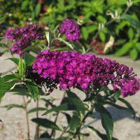 Schmetterlingsstrauch 'Royal Red'