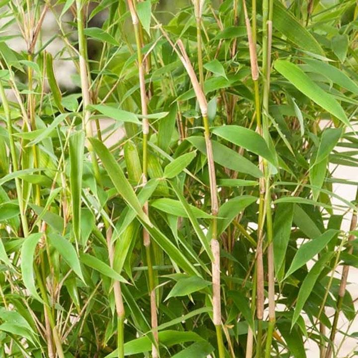 Bambushecke pflanzen und pflegen