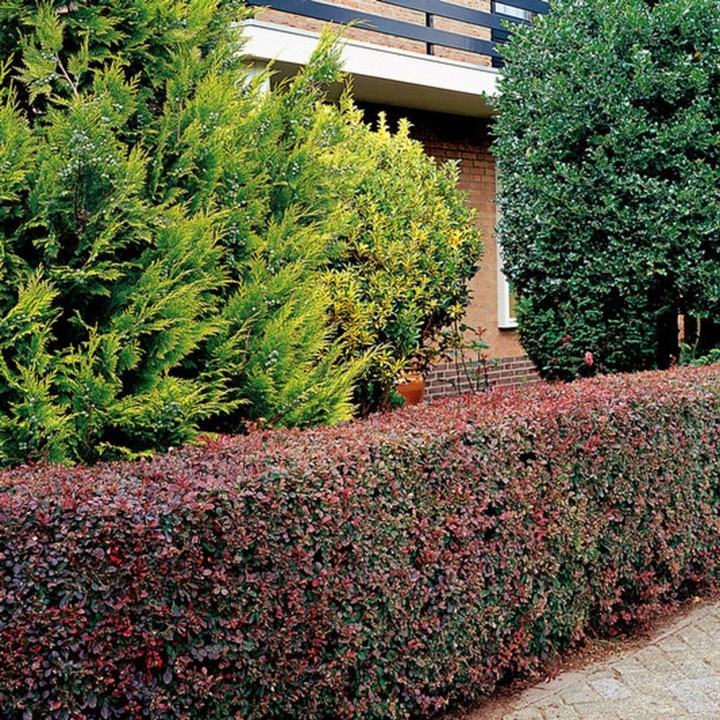 Berberis thunbergii als Heckenpflanze
