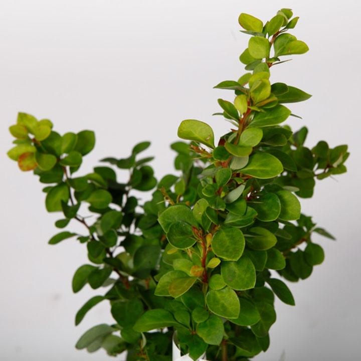 Berberis thunbergii pflanzen und pflegen