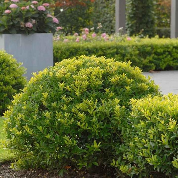 Japanische Stechpalme als Buchsbaum-Ersatz