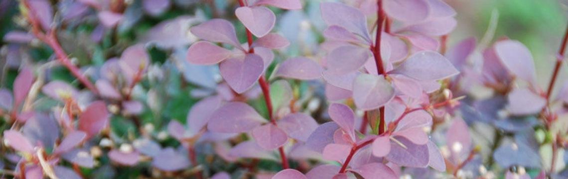 Die richtige Pflanze auswählen mit Heckenonline.ch